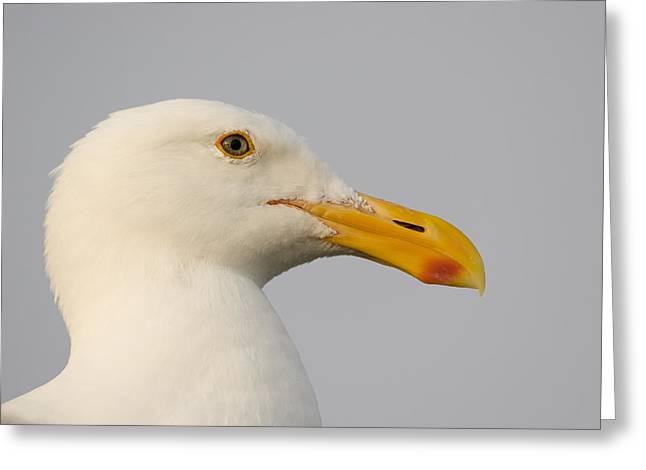 Western Gull In Breeding Plumage Greeting Card