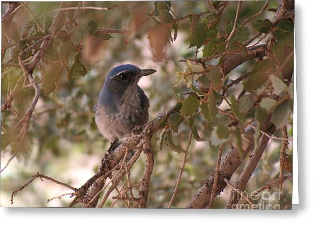 Western Scrub Jay Greeting Card by Chris Hill