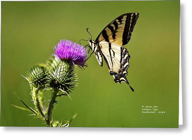 Western Tiger Swallowtail - Milkweed Thistle 2564 Greeting Card by James Ahn