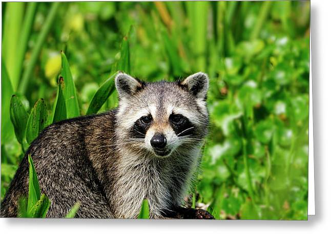 Wetlands Racoon Bandit Greeting Card