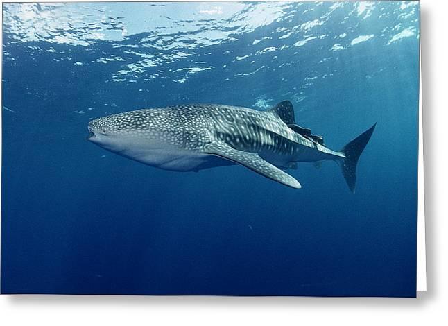 Whale Shark Cocos Island Greeting Card by Flip Nicklin