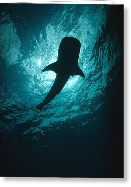 Whale Shark Silhouette Cocos Island Greeting Card by Flip Nicklin