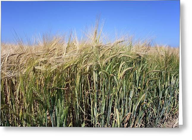 Wheat Field (triticum Sp.) Greeting Card by Victor De Schwanberg