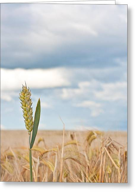 Wheat Greeting Card by Tom Gowanlock