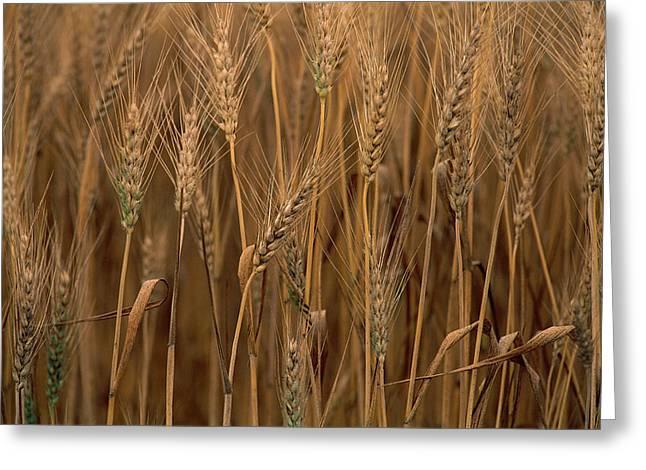 Wheat Triticum Aestivum X Hybrid Greeting Card