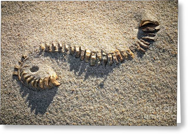 Whelk Egg Case Greeting Card by Susan Isakson