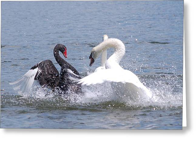 When Swans Attack Greeting Card by Carrie Munoz