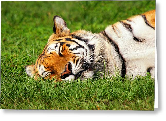 When Tigers Dream Greeting Card
