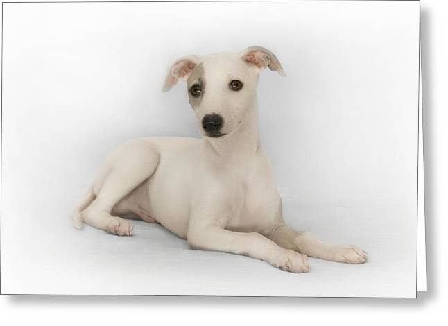 Whippet Puppy Greeting Card by John Clum