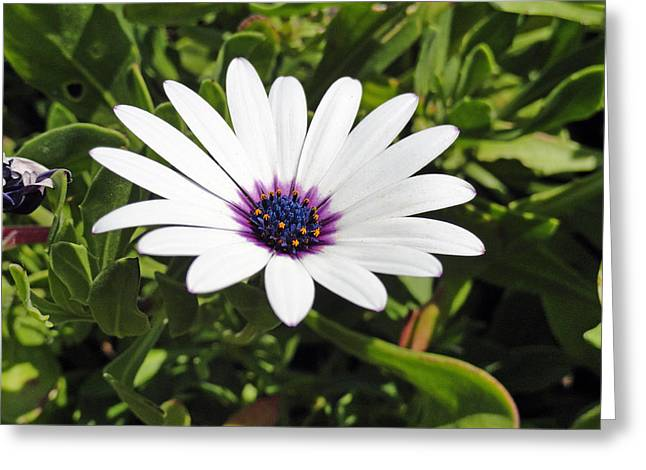 White African Daisy Greeting Card by Robert Meyers-Lussier