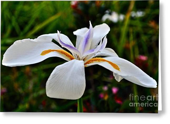 White African Iris Greeting Card by Gwyn Newcombe