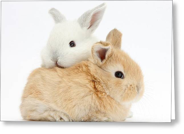 White And Sandy Baby Rabbits Greeting Card by Mark Taylor