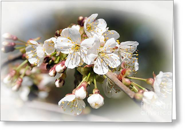 White Apple Blossoms Greeting Card