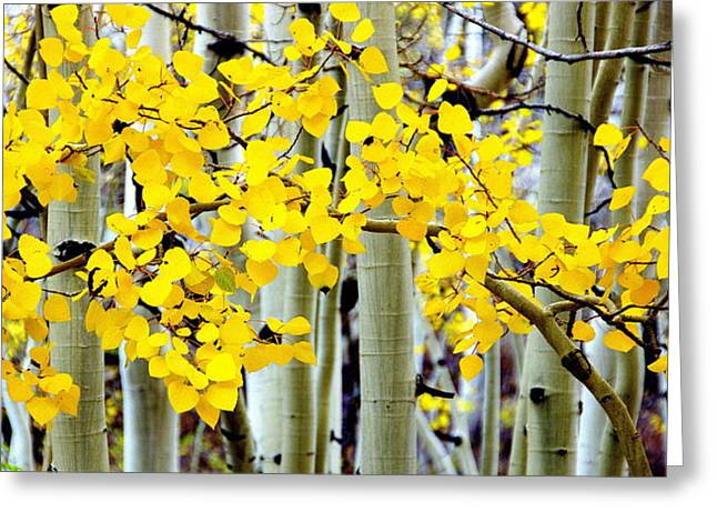 White Aspen Golden Leaves Greeting Card