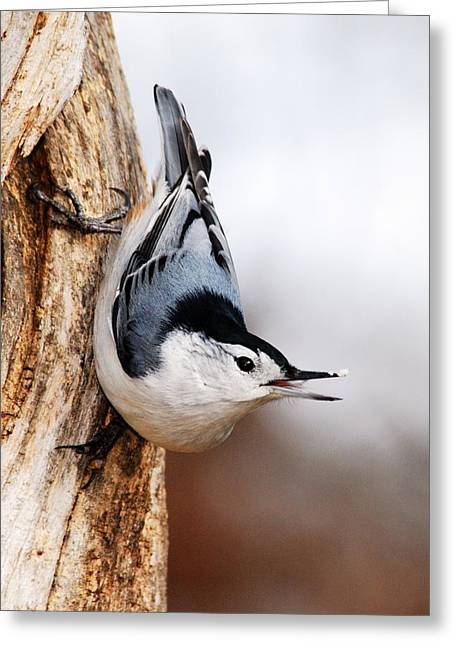 White-breasted Nuthatch 3 Greeting Card by Larry Ricker