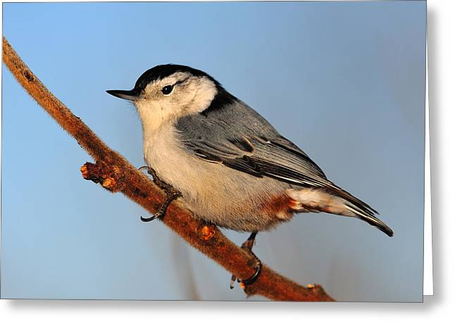 White-breasted Nuthatch Greeting Card by Tony Beck
