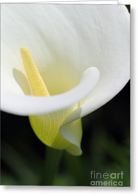 White Calla Greeting Card by Beth Buelow