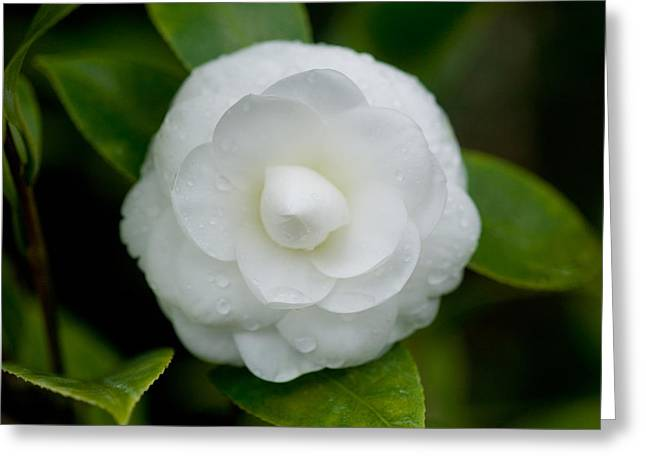 White Camellia Greeting Card by Rich Franco