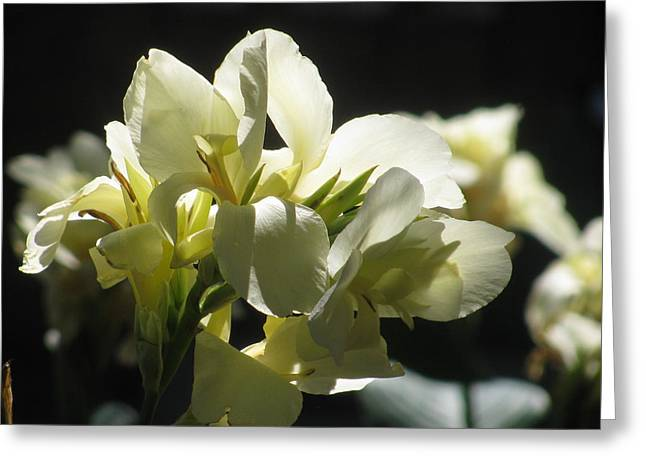White Canna Lily Greeting Card by Alfred Ng