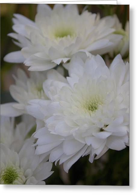 White Chrysanthemum Greeting Card by Ivete Basso Photography