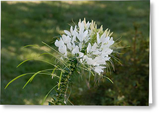 White Cleome Greeting Card