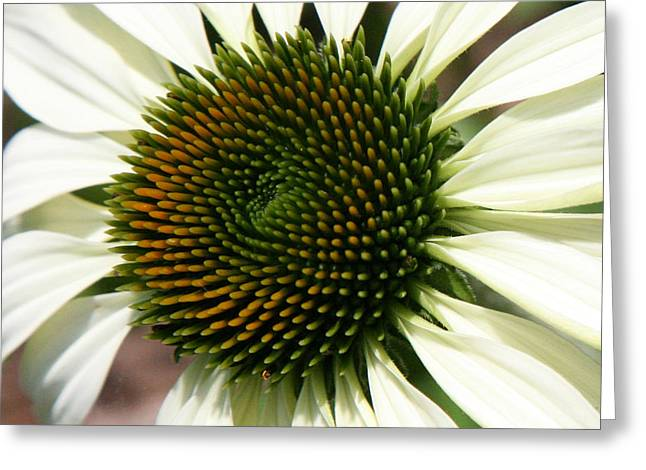 Greeting Card featuring the photograph White Coneflower Daisy by Donna Corless