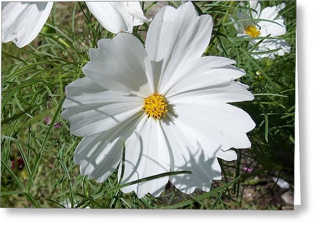 white Cosmos Greeting Card by Angelika MacDonald