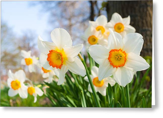 Greeting Card featuring the photograph White Daffodils by Hans Engbers