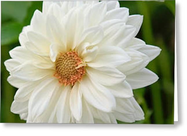 White Dahlia Greeting Card by Ann Murphy