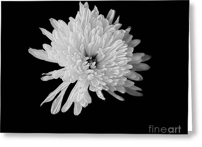White Dahlia Blossom Greeting Card