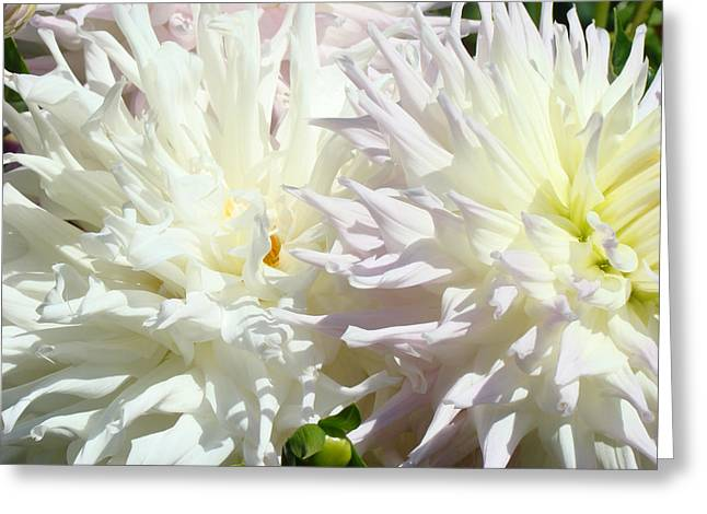 White Dahlia Flowers Art Prints Floral Greeting Card by Baslee Troutman