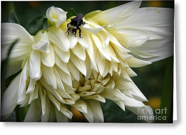 White Dahlia Greeting Card by Tanya  Searcy