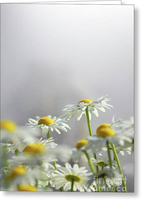 White Daisies Greeting Card by Carlos Caetano