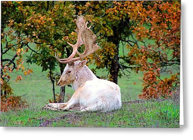 Greeting Card featuring the photograph White Deer by Wendy McKennon