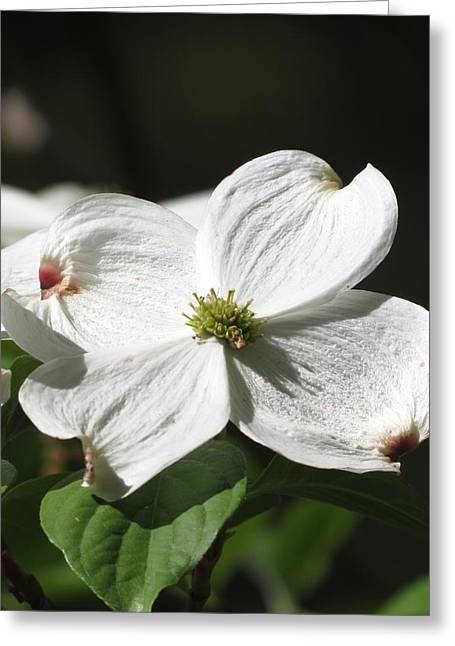 White Dogwood Greeting Card by Rebecca Overton