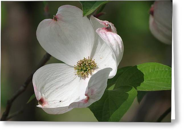White Dogwood Tree Bloom Greeting Card by Rebecca Overton