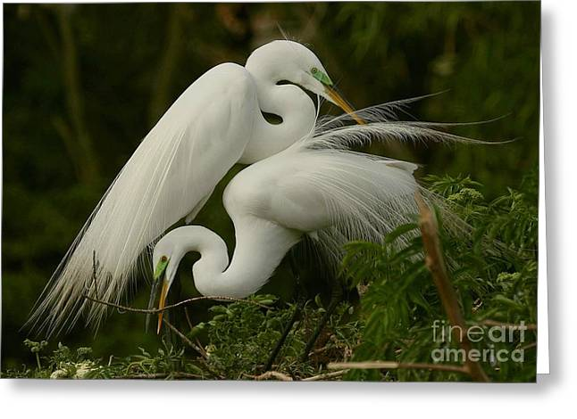 Greeting Card featuring the photograph White Egrets Working Together by Myrna Bradshaw