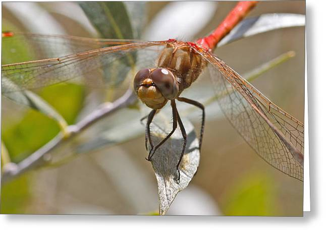 White-faced Meadowhawk Greeting Card by Mitch Shindelbower
