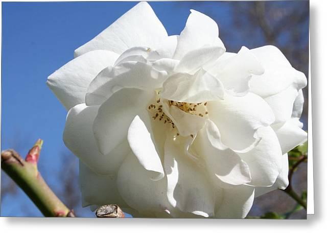 White Flower Greeting Card by Eduardo Bouzas