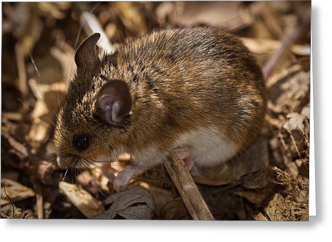 White-footed Mouse Greeting Card by  Onyonet Photo Studios