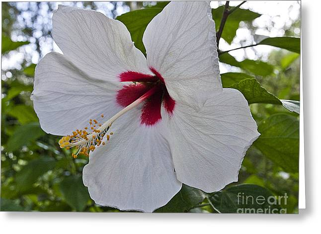 White Hibicus Greeting Card