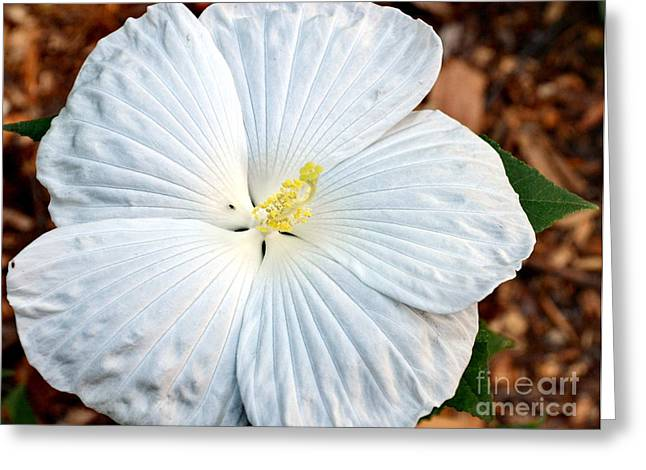 White Hibiscus Bloom Greeting Card by Eva Thomas