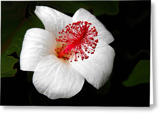 Greeting Card featuring the photograph White Hibiscus Flower by Rebecca Margraf