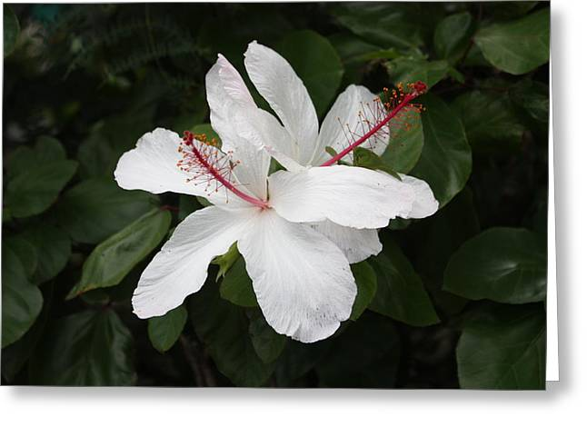 White Hibiscus Twins Greeting Card by Craig Wood