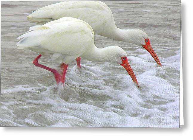 White Ibis Feeding Greeting Card by Anne Gordon