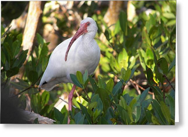 White Ibis Greeting Card by Judy Via-Wolff