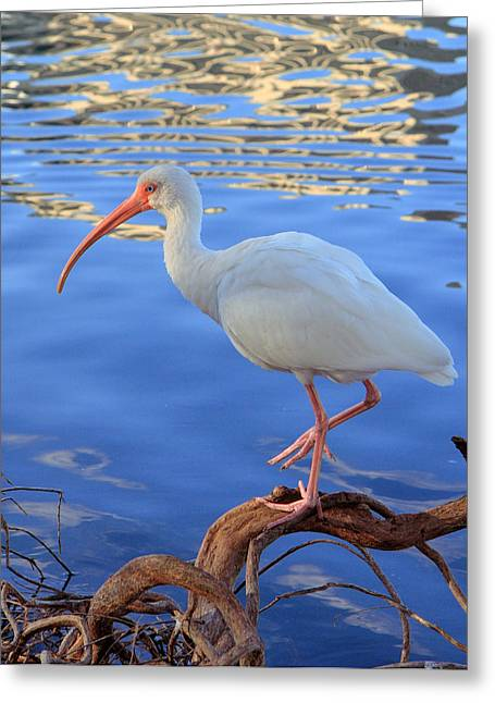 White Ibis Greeting Card by Rick Lesquier