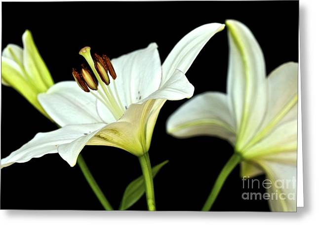 White Lilies Greeting Card by Mihaela Limberea