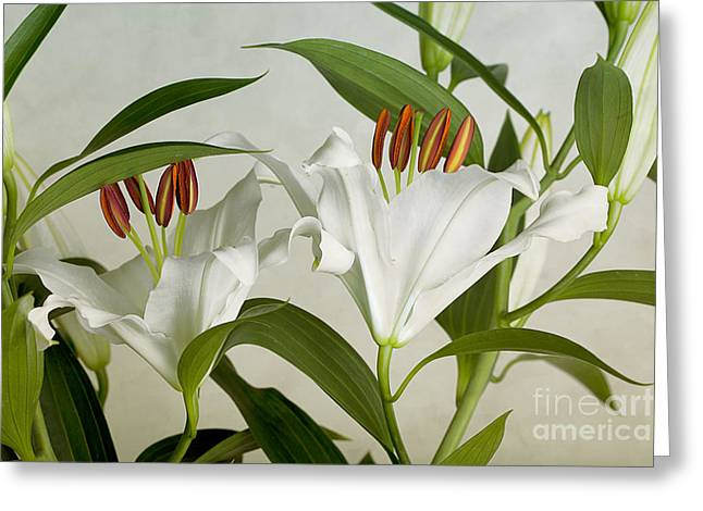 White Lilies Greeting Card by Nailia Schwarz