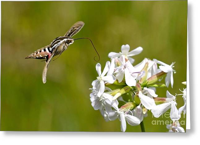 White-lined Sphinx Hummingbird Moth Greeting Card by Fred Emms